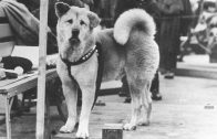 Hachikō the Dog – Tale of Love and Loyalty